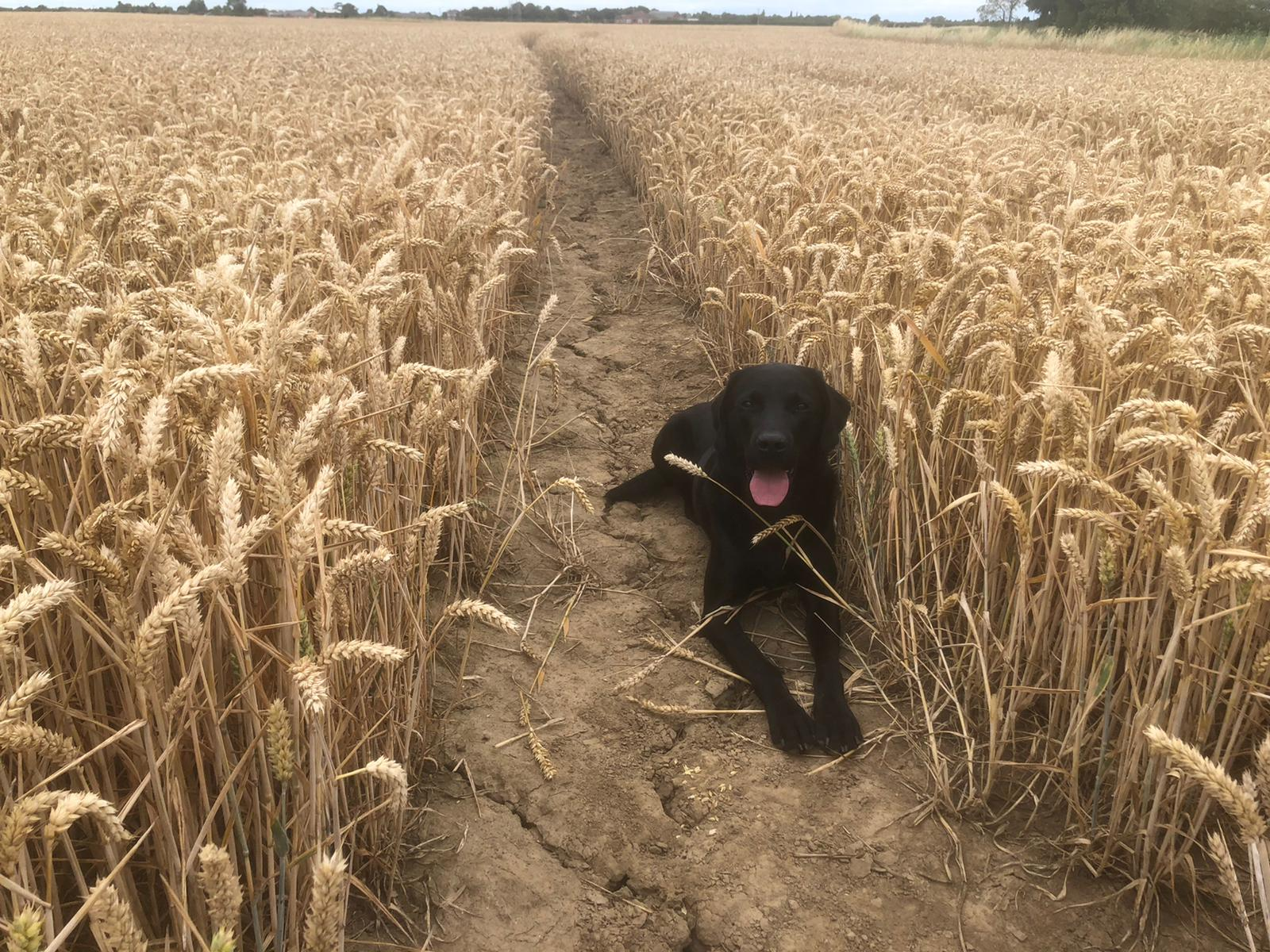 Dog in corn field | Laughing Dog Food