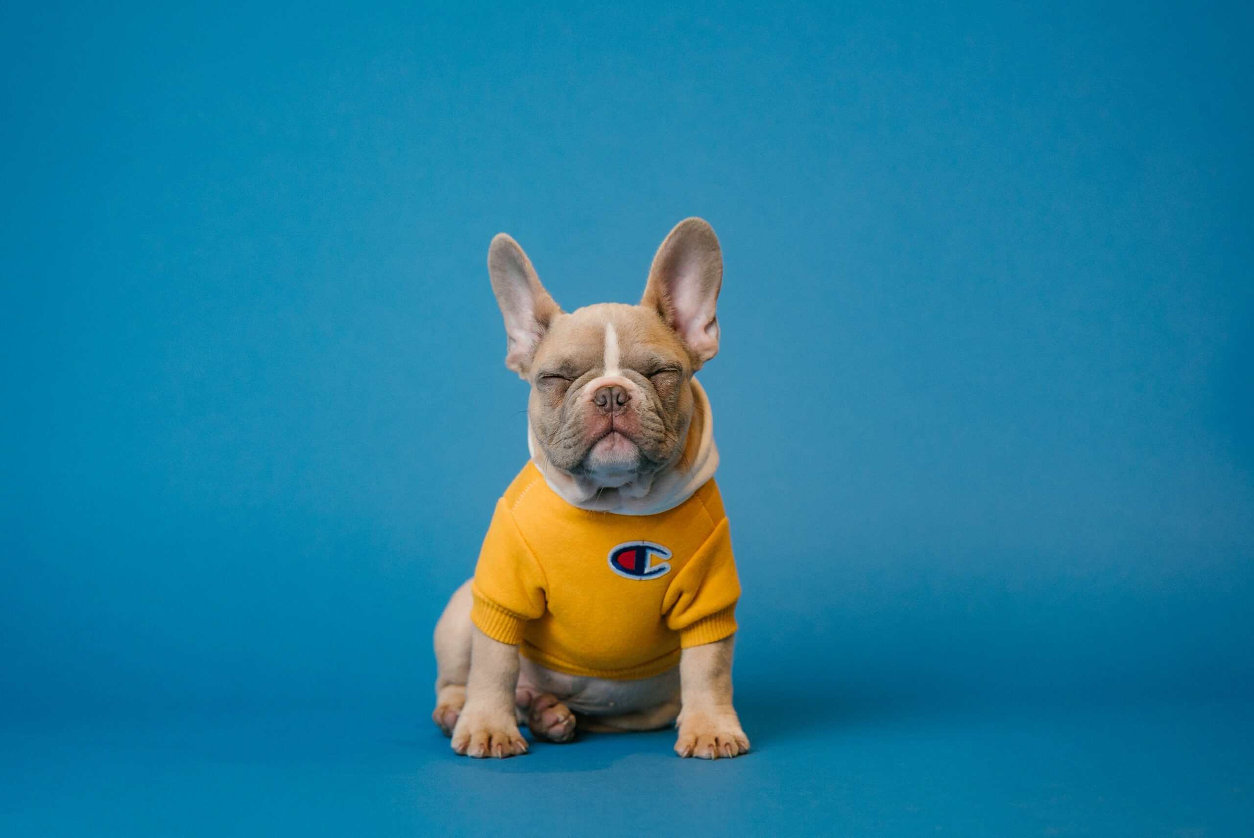 Image of a dog with a yellow jumper on sat in front of a blue screen